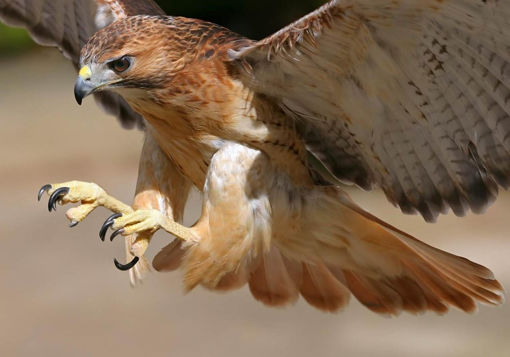 Arjen Sun Aguila-halcon-peregrino
