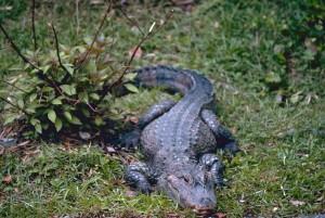 aligator chino
