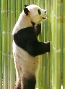 famoso oso panda de madrid