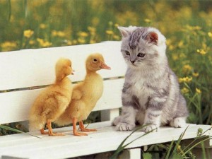 gatito con patitos
