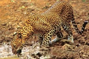 foto leopardo bebiendo