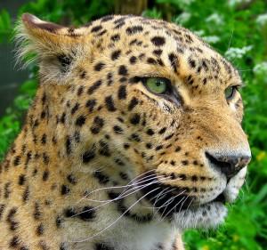 leopardo mirando