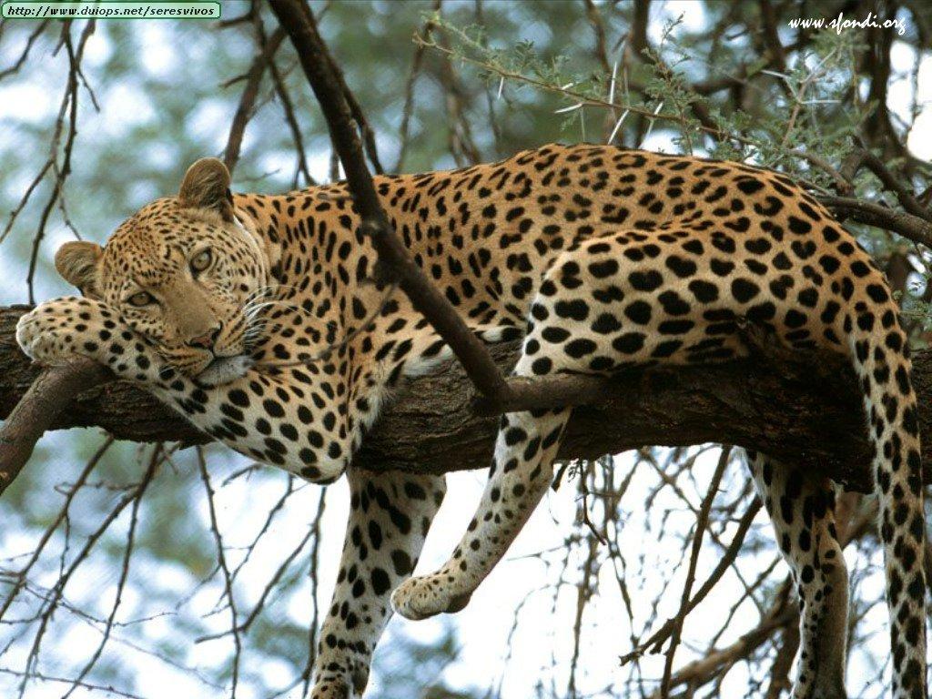 external image leopardo-kenya-africa.jpg