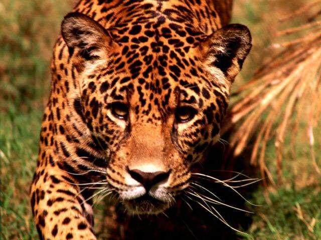 CACHORROS Y ANIMALES Leopardo