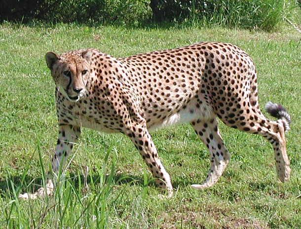 Avistan  Leopardo en Barrio Lavadero en Hormigueros