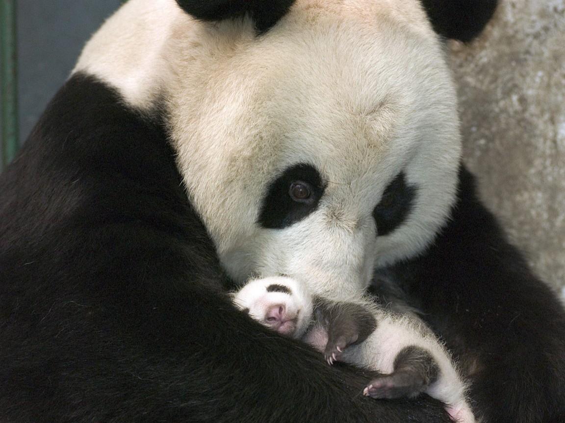 oso panda asusta a su madre petardacos.com