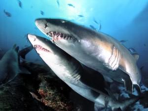animales tiburones