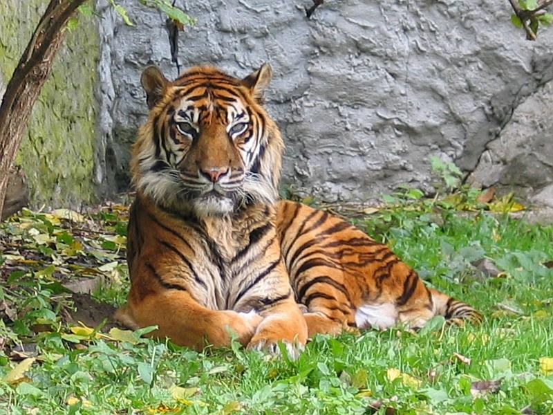Resultado de imagen de tigre de sumatra