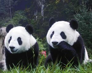 fondo oso panda
