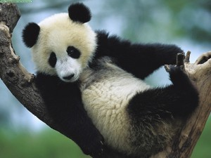 oso panda árbol