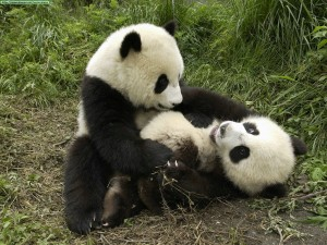 osos panda jugando