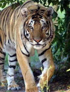 tigre de sumatra andando
