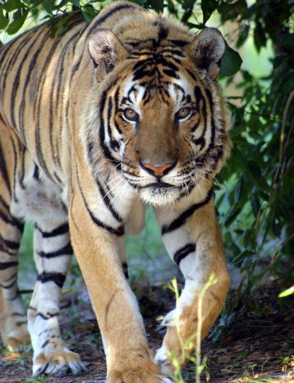 Animales y Animales » tigres