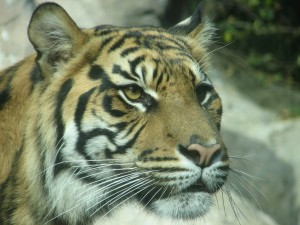 tigre triste