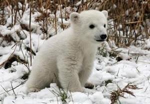cria de oso polar