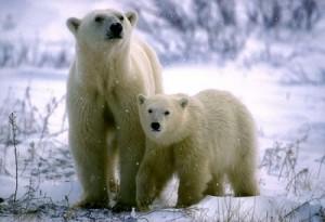 osos blancos
