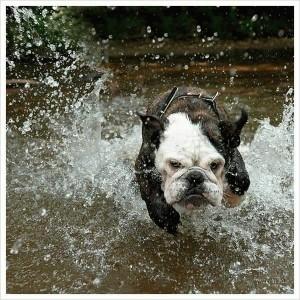 Perro corriendo en el agua.