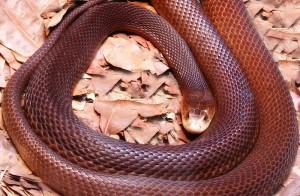 El Taipan ,  la serpiente mas venenosa