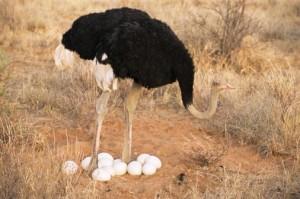 Avestruz cuidando sus huevos