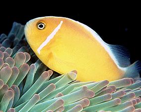 pez agallas