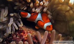 pez payaso, caracterizado por sus intensos colores rojo