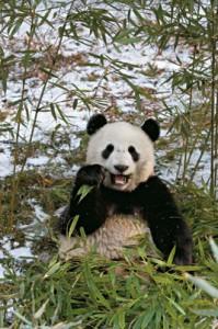 Panda comiendo hierva