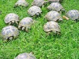 Muchas tortugas de tierra