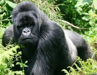 external image gorila.jpg