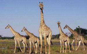 La jirafa, animal de la sabana africana