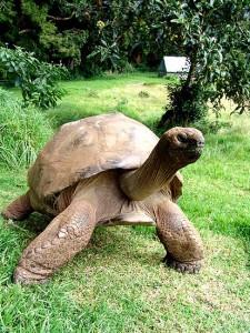 Jonathat, la tortuga mas vieja, con 176 años
