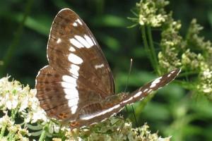 mariposa traquial