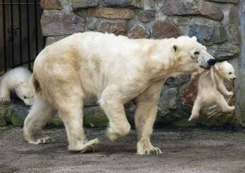 external image oso-polar-hijo.jpg