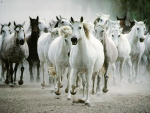 Tropilla de caballos.
