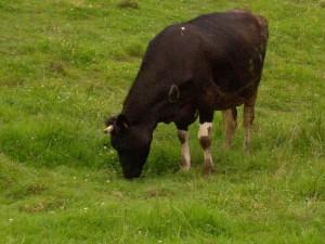 Vaca, un ejemplo de rumiante