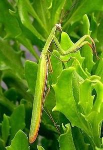 Mantis mimetizándose