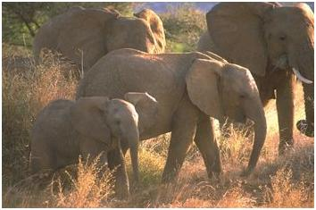 animal elefante