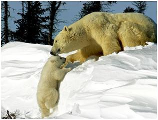 animales osos polares