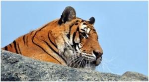 animales tigres