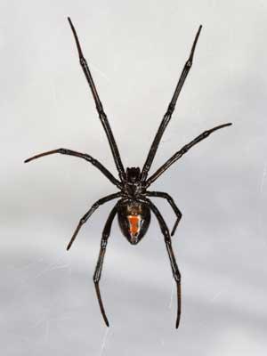5_spider_300
