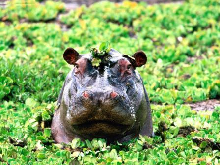 Animals Hippopotamus_Peek-a-boo, Hippopotamus