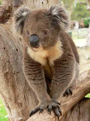 Animales koalas
