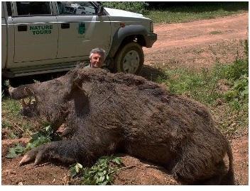 cerdo-gigante