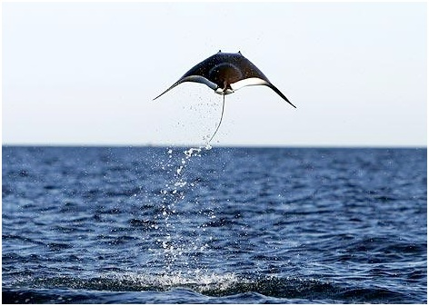 manta raya voladora