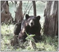 oso negro