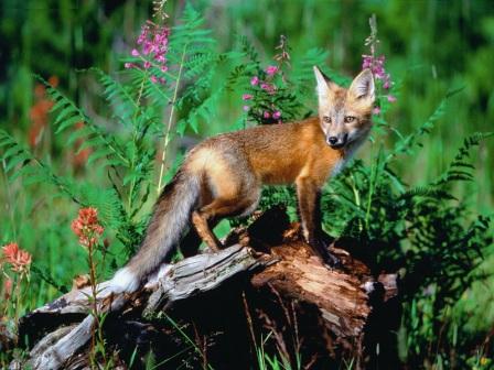 Red Fox2