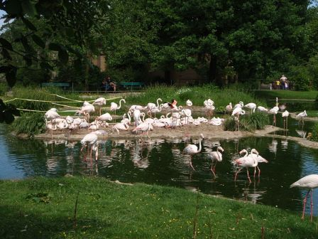 800px-Zoo_Basel_flamingos_breeding