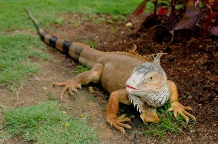 Brownish_Green_Iguana_600