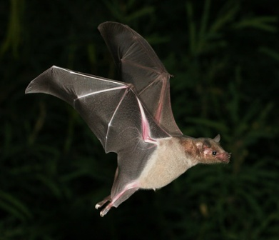 Lesser-Long-nosed-Bat-1