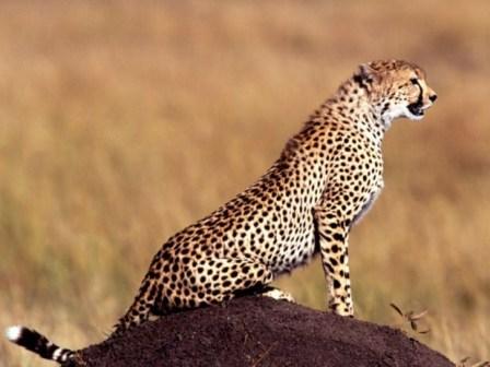 guepardos3