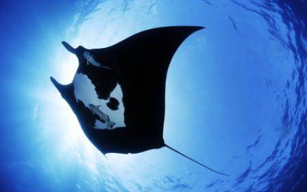 manta_ray_sea_creature-wide